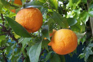 bitter orange leaf